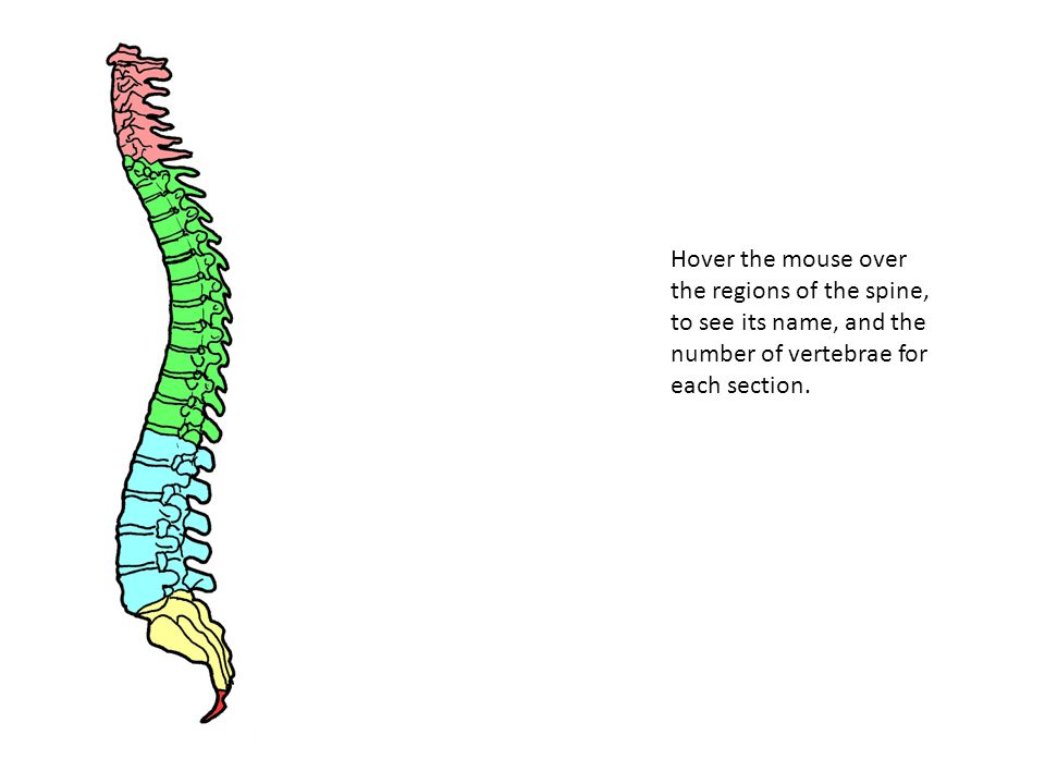 Cervical 7 Vertebrae This supports the weight of the head.
