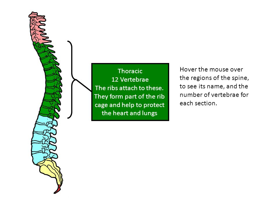 Hover the mouse over the regions of the spine, to see its name, and the number of vertebrae for each section.