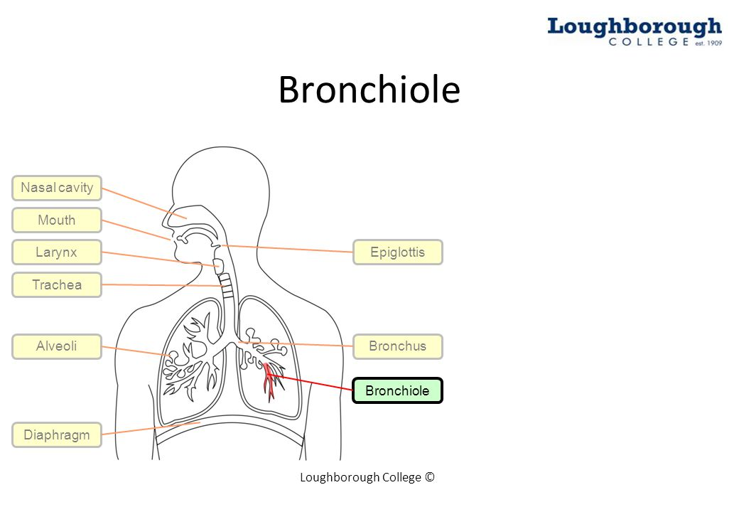 Bronchiole Loughborough College © Mouth Larynx Trachea Epiglottis Bronchus Bronchiole Alveoli Diaphragm Nasal cavity