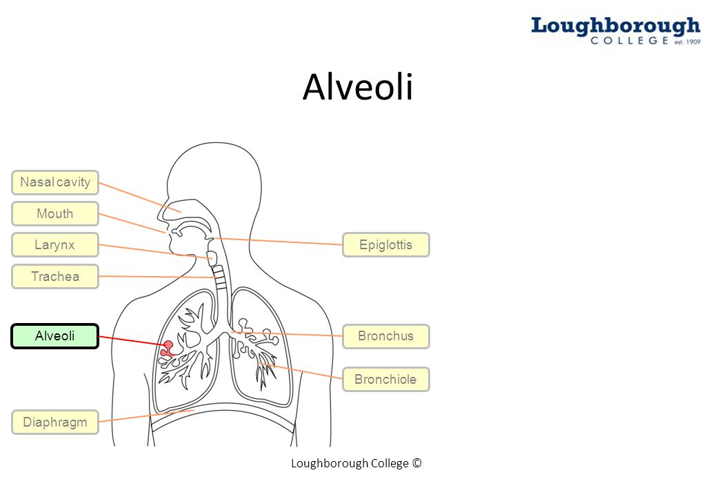 Alveoli Loughborough College © Mouth Larynx Trachea Epiglottis Bronchus Bronchiole Alveoli Diaphragm Nasal cavity