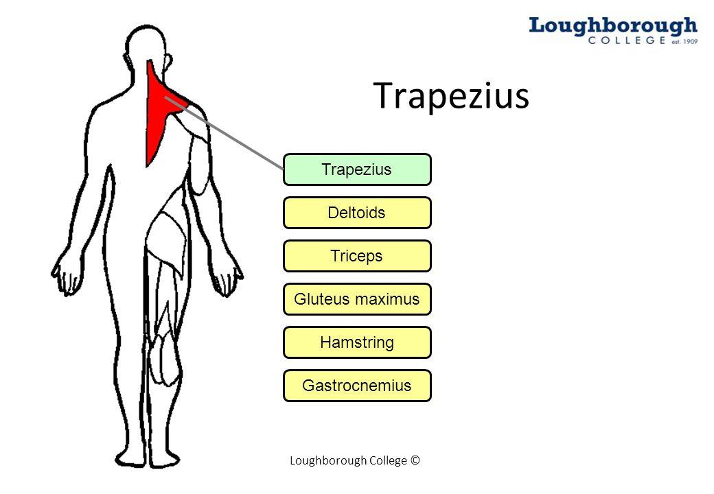 Loughborough College © Deltoid Trapezius Deltoids Triceps Gluteus maximus Hamstring Gastrocnemius