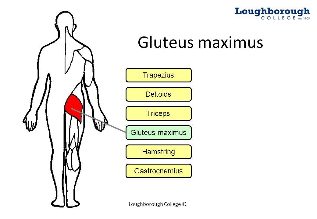 Loughborough College © Hamstring Trapezius Deltoids Triceps Gluteus maximus Hamstring Gastrocnemius