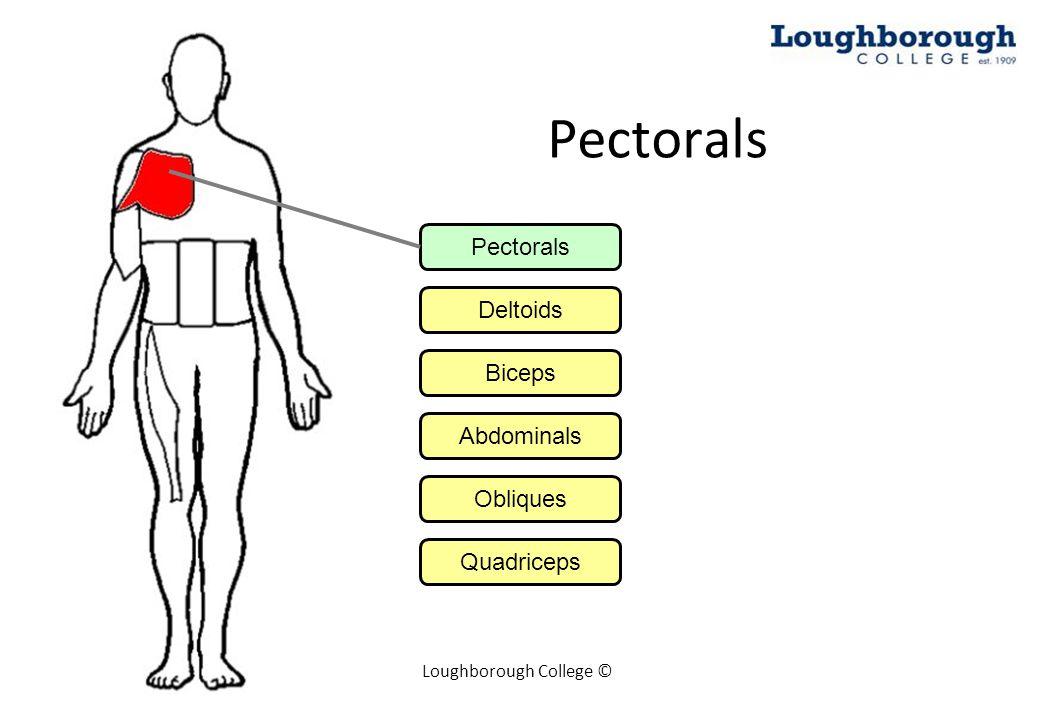 Loughborough College © Pectorals Deltoids Biceps Abdominals Obliques Quadriceps