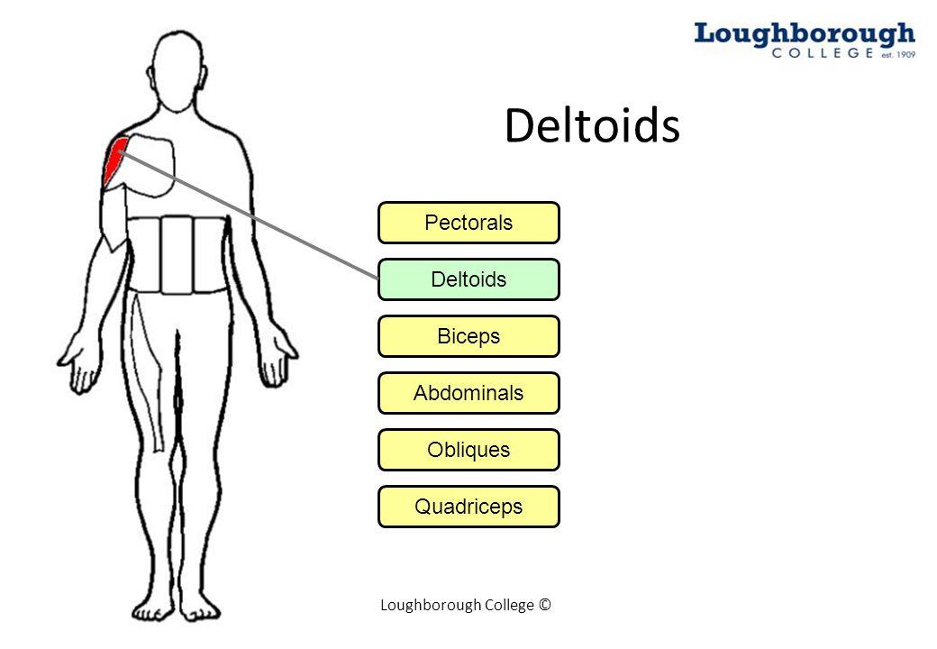 Loughborough College © Biceps Pectorals Deltoids Biceps Abdominals Obliques Quadriceps