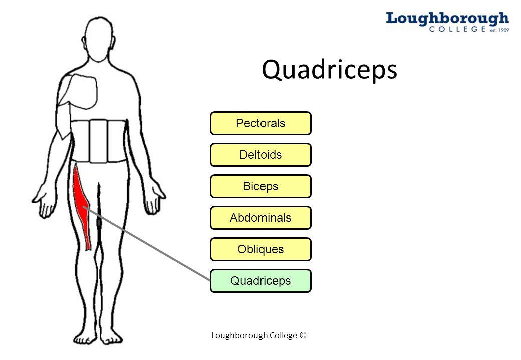 Loughborough College © Quadriceps Pectorals Deltoids Biceps Abdominals Obliques Quadriceps