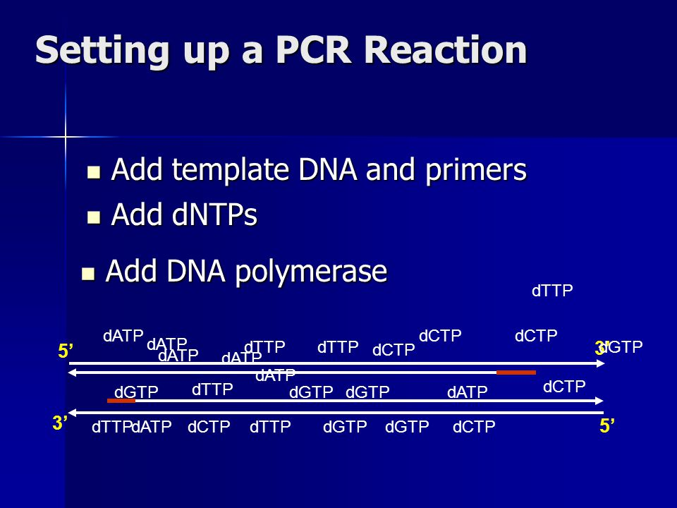 Setting up a PCR Reaction Add template DNA and primers Add template DNA and primers 3' 5' 3' dCTP dTTP dCTP dGTP dATP dGTP dCTP dTTP dATP dGTP dCTP dTTP dATP dGTPdCTPdTTPdATPdGTP dATP dGTP dTTP dATP dCTP dTTP Add dNTPs Add dNTPs Add DNA polymerase Add DNA polymerase