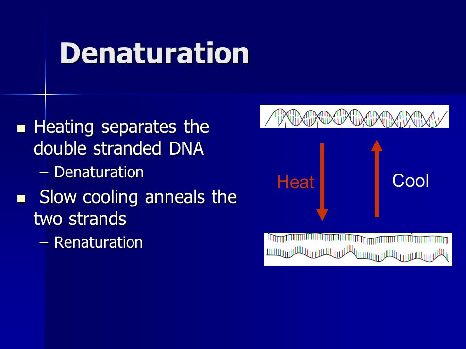Denaturation Heating separates the double stranded DNA Heating separates the double stranded DNA –Denaturation Slow cooling anneals the two strands Slow cooling anneals the two strands –Renaturation Heat Cool