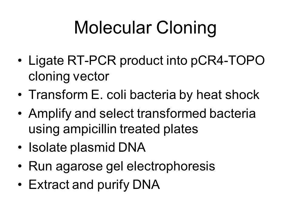 Ligate RT-PCR product into pCR4-TOPO cloning vector Transform E.