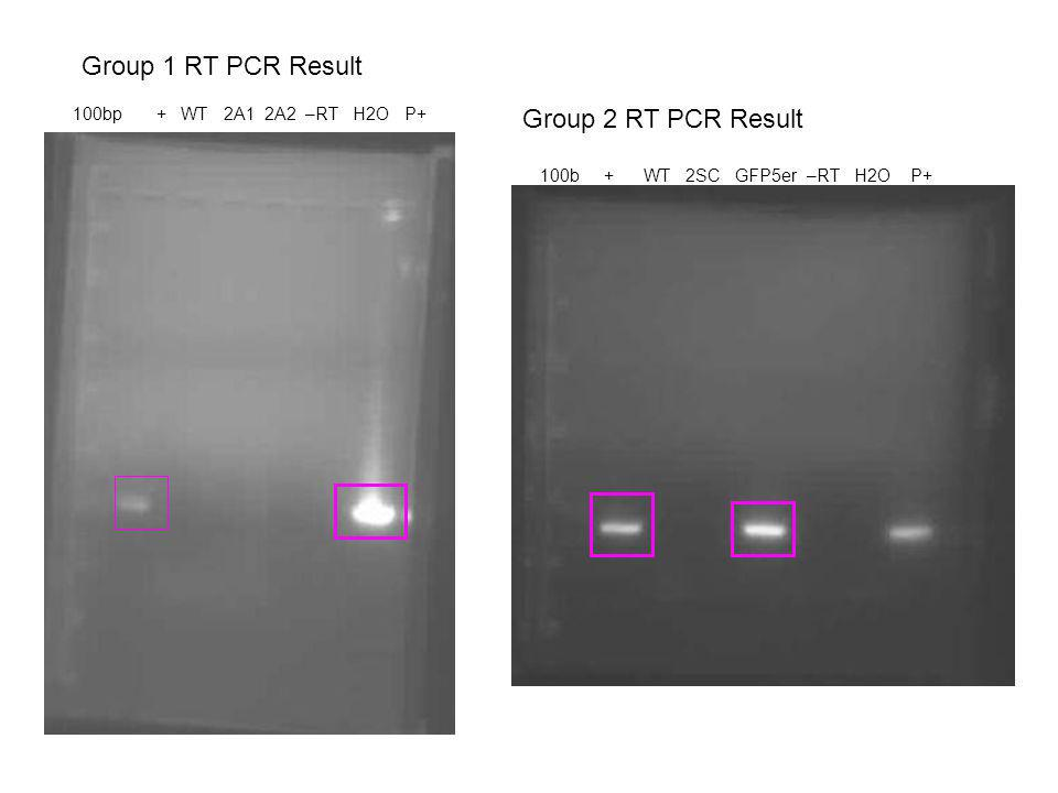 Group 2 RT PCR Result 100b + WT 2SC GFP5er –RT H2O P+ 100bp + WT 2A1 2A2 –RT H2O P+ Group 1 RT PCR Result