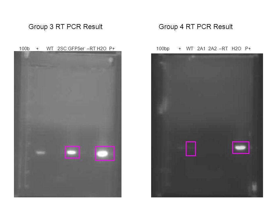 Group 4 RT PCR Result 100bp + WT 2A1 2A2 –RT H2O P+ Group 3 RT PCR Result 100b + WT 2SC GFP5er –RT H2O P+