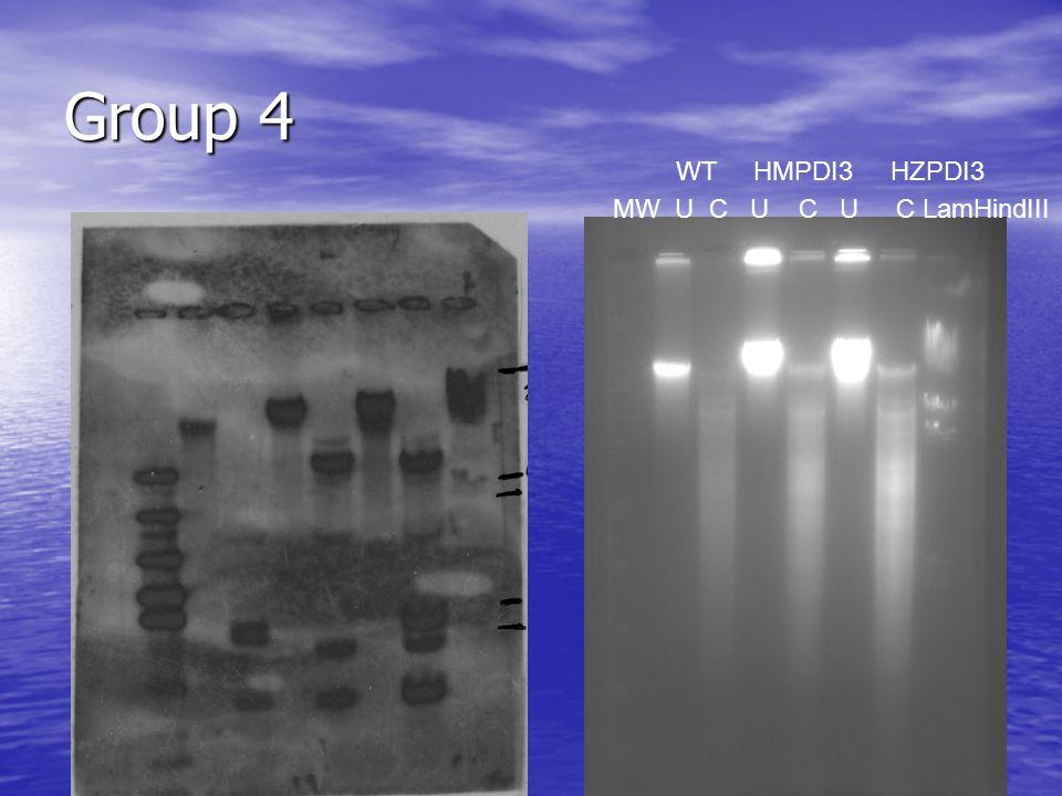 Group 4 MW U C U C U C LamHindIII WT HMPDI3 HZPDI3
