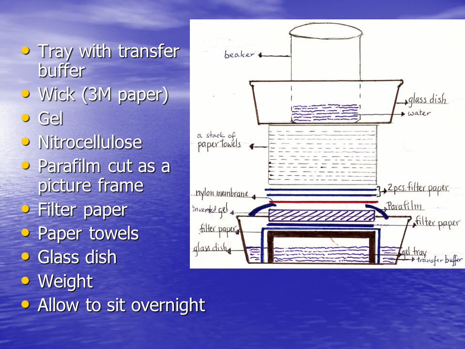 Mark gel wells on the membrane with a pencil.Rinse the membrane in 6X SSC for 10 minutes.