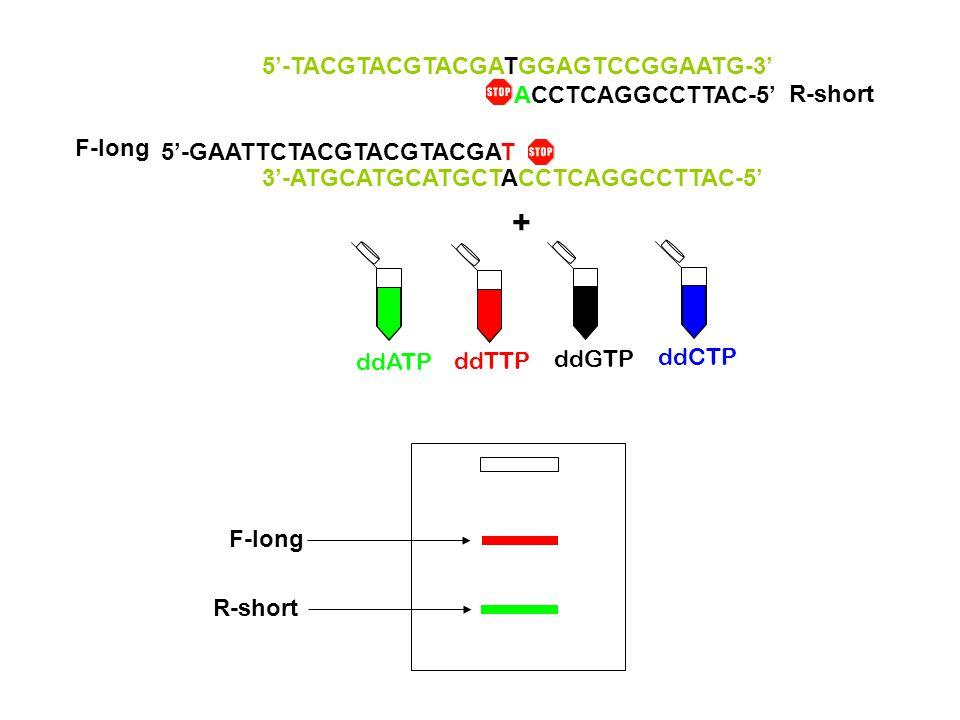 + ddTTP ddCTP ddGTP ddATP 3'-ATGCATGCATGCTACCTCAGGCCTTAC-5' 5'-GAATTCTACGTACGTACGAT F-long 5'-TACGTACGTACGATGGAGTCCGGAATG-3' ACCTCAGGCCTTAC-5' R-short F-long R-short