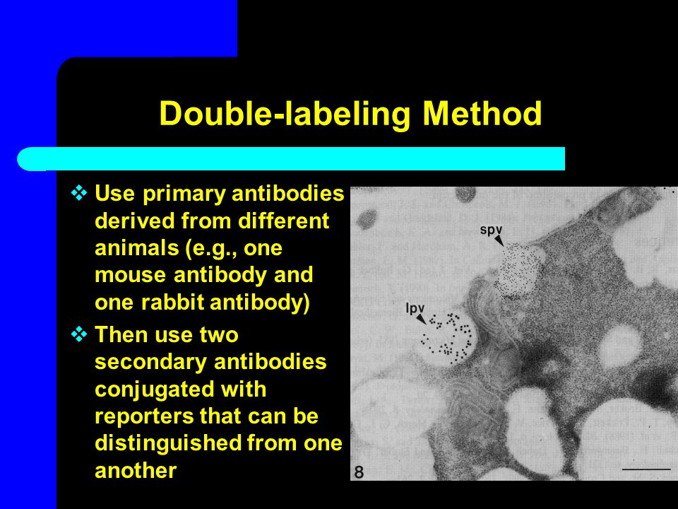 Double-labeling Method  Use primary antibodies derived from different animals (e.g., one mouse antibody and one rabbit antibody)  Then use two secon