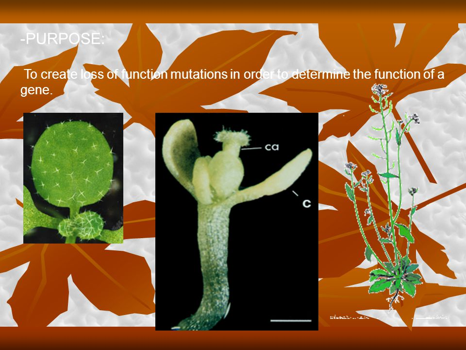 -HOW DOES THIS WORK: Vector transmission by way of Agro  plant is randomly inserted into the nuclei chromosomal sites.