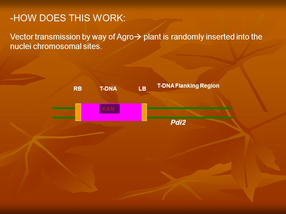 -HOW DOES THIS WORK: Vector transmission by way of Agro  plant is randomly inserted into the nuclei chromosomal sites.