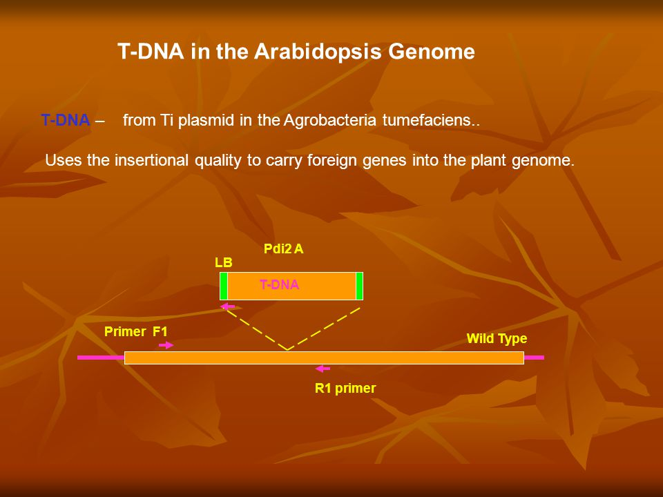 T-DNA in the Arabidopsis Genome T-DNA – from Ti plasmid in the Agrobacteria tumefaciens..
