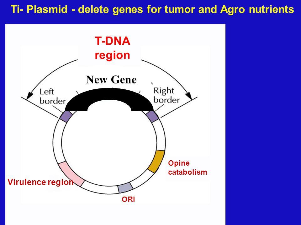 Tumor- producing genes Virulence region Opine catabolism ORI T-DNA region Ti- Plasmid - delete genes for tumor and Agro nutrients X X X X