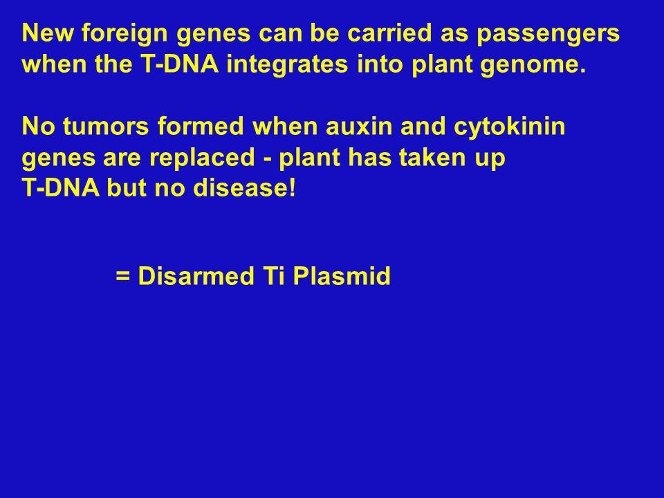 Virulence region Opine catabolism ORI T-DNA region Ti- Plasmid - delete genes for tumor and Agro nutrients New Gene