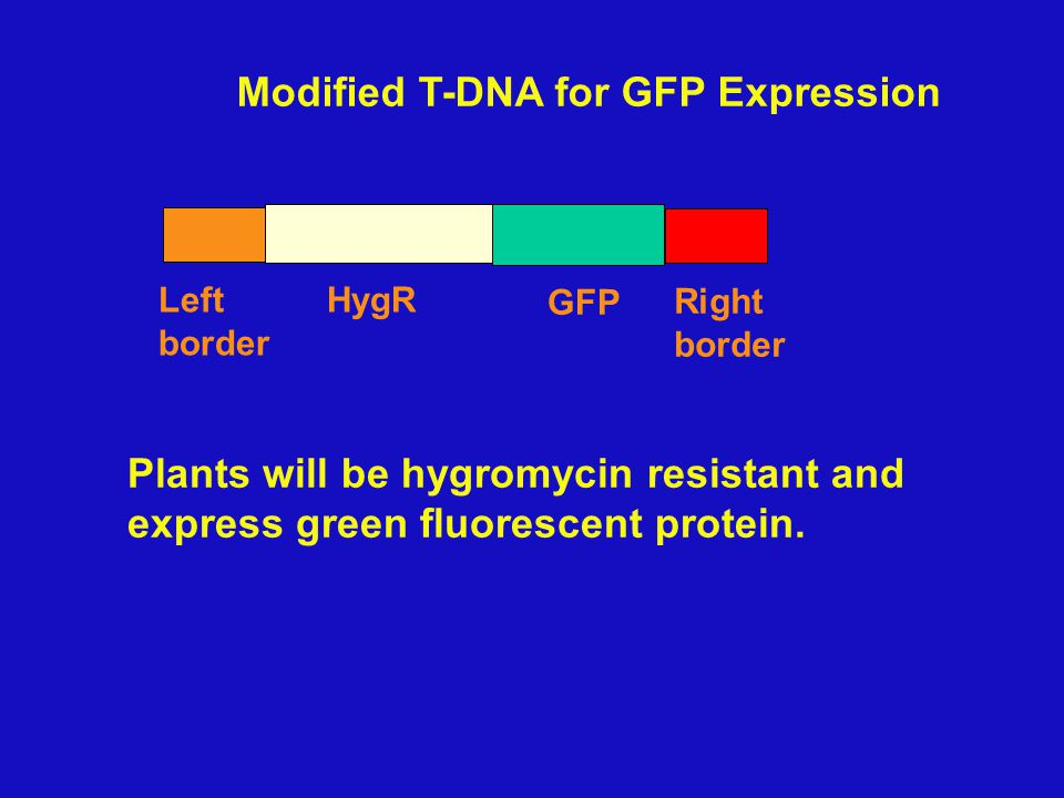 "What kind of genes can be added to T-DNA? - Any gene - Selectable marker Kanamycin Resistance Hygromycin R "" - reporter gene, marks cells to show they"