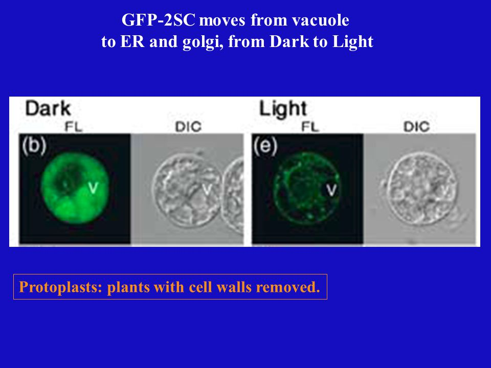 Root Root Hair cotyledon Light Dark Redistribution of GFP-2SC in the Light