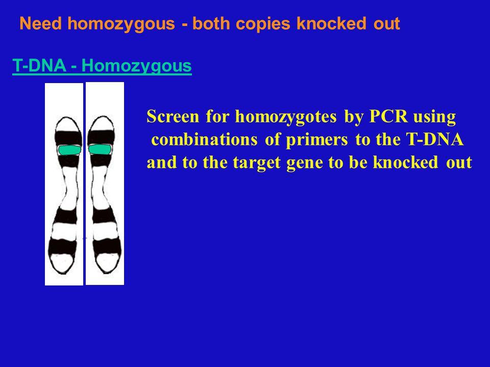 Obtaining Homozygous - 2 T-DNAs in same gene Heterozygous is self-pollinated N T N TN T NN NT TN TT