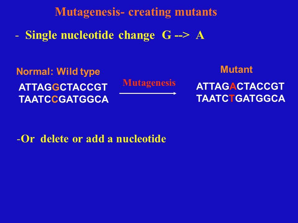 - Single nucleotide change G --> A Mutagenesis- creating mutants ATTAGGCTACCGT TAATCCGATGGCA ATTAGACTACCGT TAATCTGATGGCA -Or delete or add a nucleotide Normal: Wild type Mutant Mutagenesis