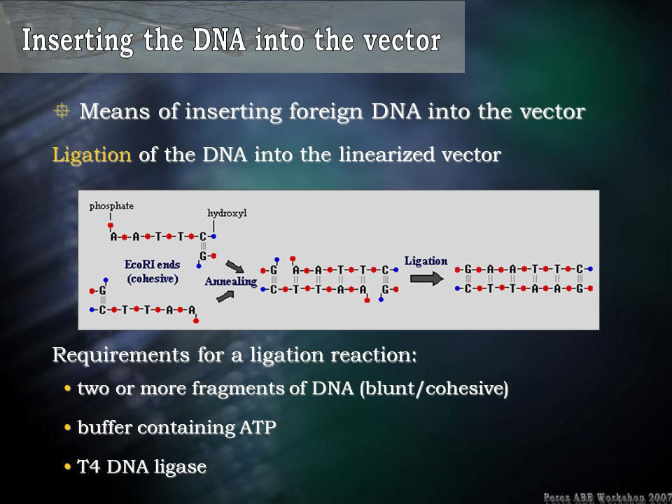  Means of inserting foreign DNA into the vector Ligation of the DNA into the linearized vector two or more fragments of DNA (blunt/cohesive) two or m