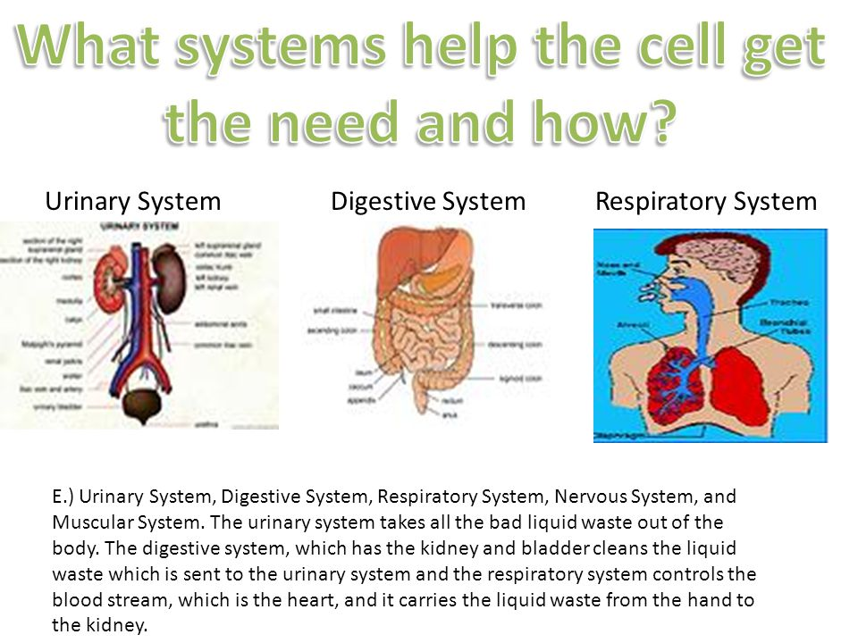 E.) Urinary System, Digestive System, Respiratory System, Nervous System, and Muscular System.