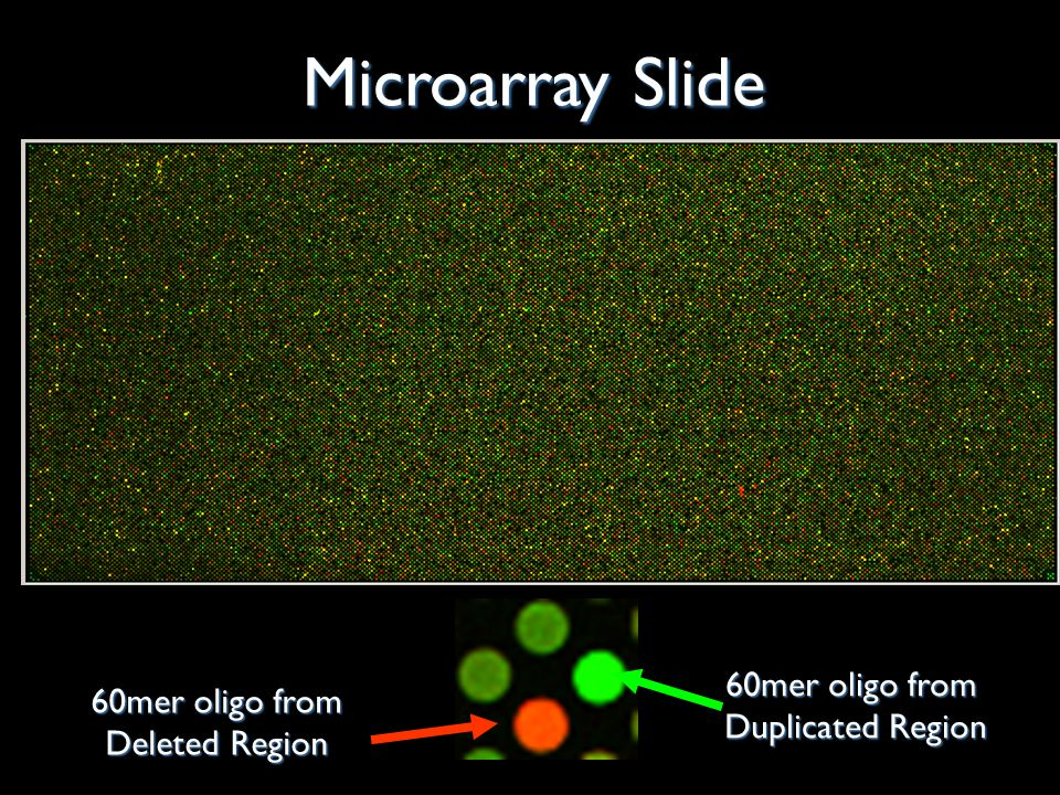 60mer oligo from Duplicated Region 60mer oligo from 60mer oligo from Deleted Region Microarray Slide