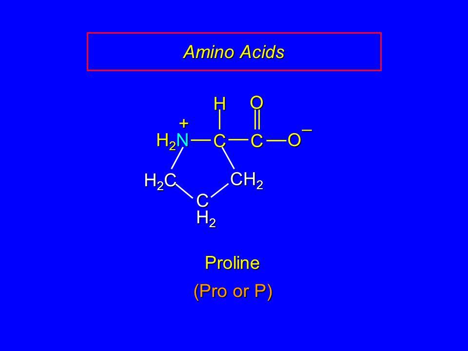 Amino Acids Proline CCOO – CH 2 H H2NH2NH2NH2N + H2CH2CH2CH2C CH2CH2CH2CH2 (Pro or P)