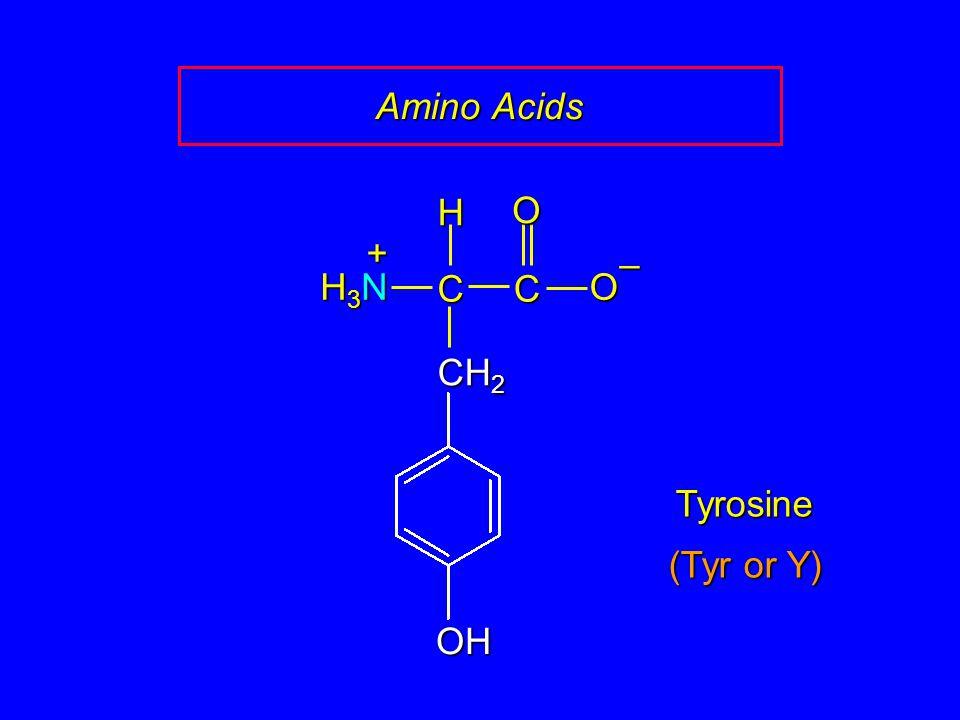 Amino Acids Tyrosine CCOO – CH 2 H H3NH3NH3NH3N + OH (Tyr or Y)