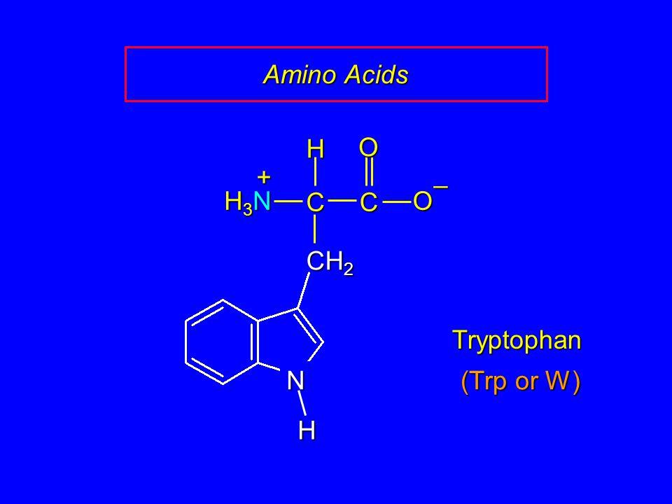 Amino Acids Tryptophan CCOO – CH 2 H H3NH3NH3NH3N + N H (Trp or W)