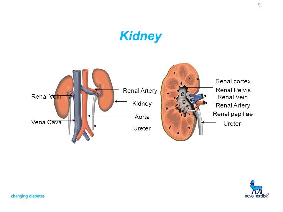 5 Renal Artery Renal Vein Ureter Renal Pelvis Renal papillae Renal cortex Kidney Ureter Aorta Vena Cava Renal Artery Renal Vein Kidney