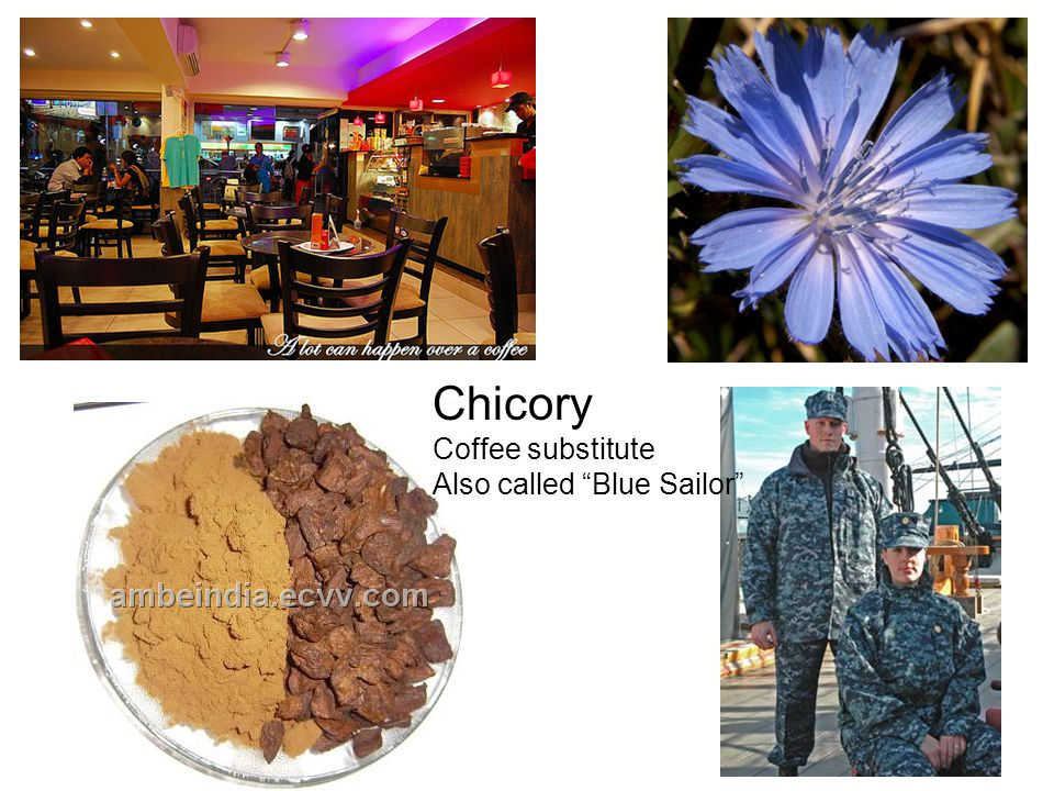 Chicory Coffee substitute Also called Blue Sailor
