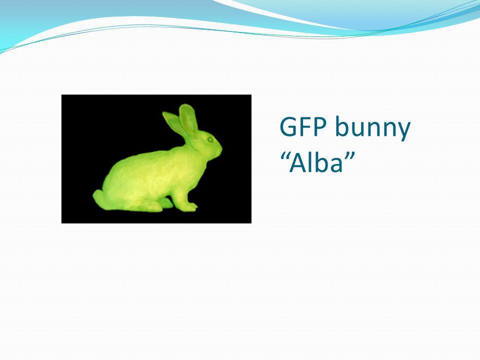 """GFP bunny """"Alba"""""""