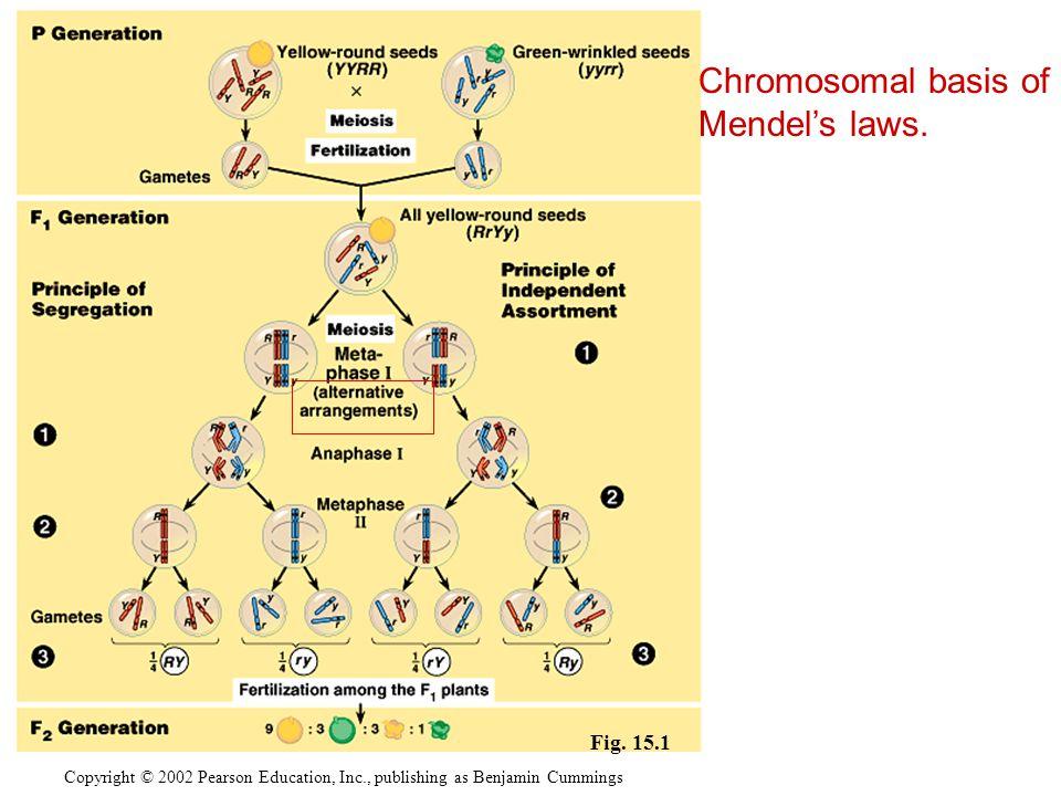 Copyright © 2002 Pearson Education, Inc., publishing as Benjamin Cummings Chromosomal basis of Mendel's laws. Fig. 15.1