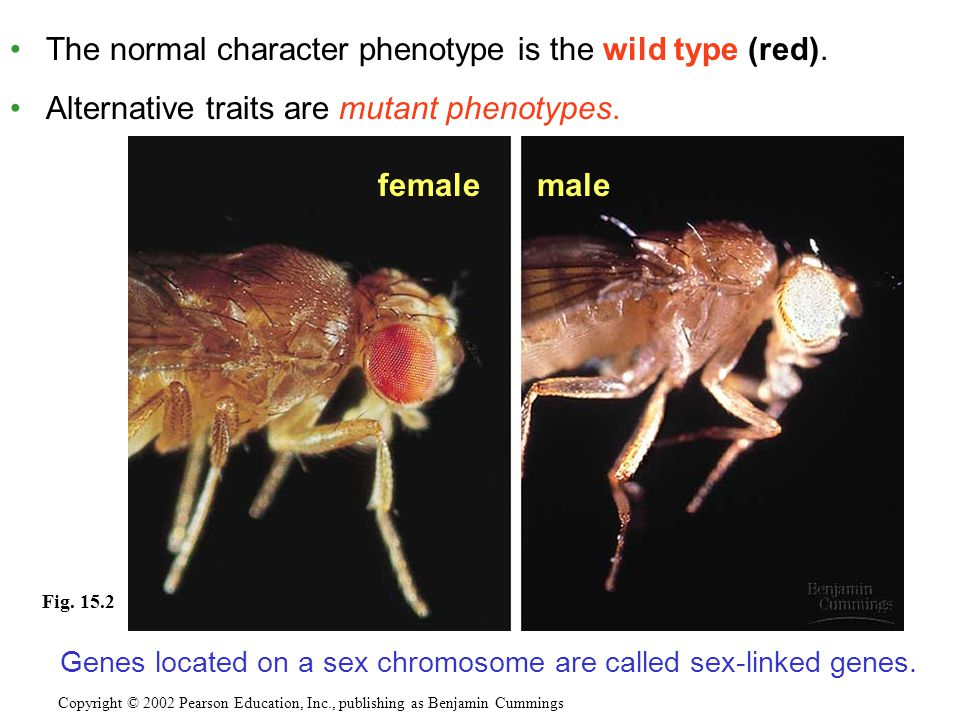 The normal character phenotype is the wild type (red). Alternative traits are mutant phenotypes. Copyright © 2002 Pearson Education, Inc., publishing