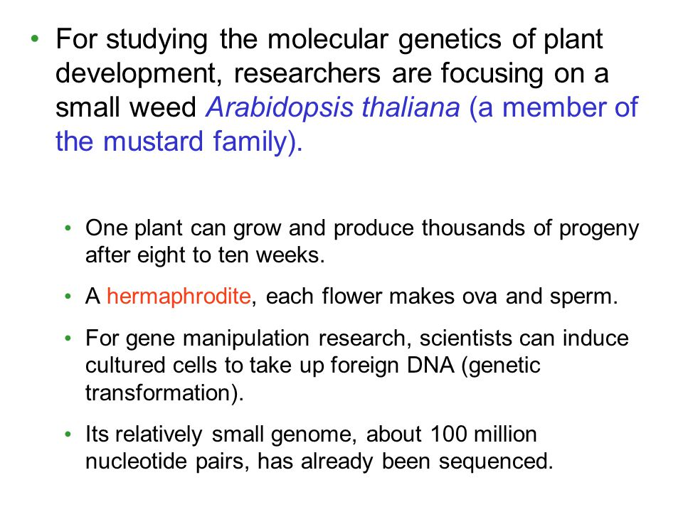 For studying the molecular genetics of plant development, researchers are focusing on a small weed Arabidopsis thaliana (a member of the mustard famil