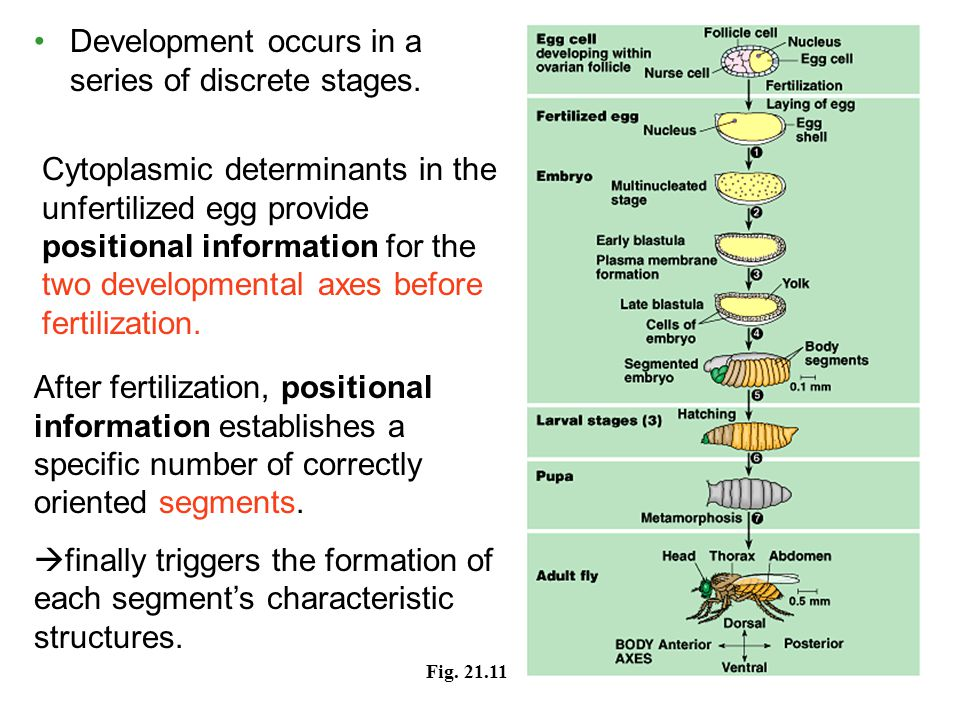 Development occurs in a series of discrete stages. Fig. 21.11 After fertilization, positional information establishes a specific number of correctly o