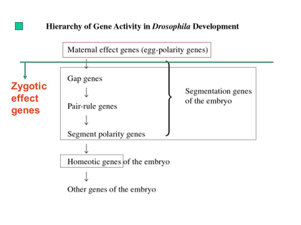 Zygotic effect genes