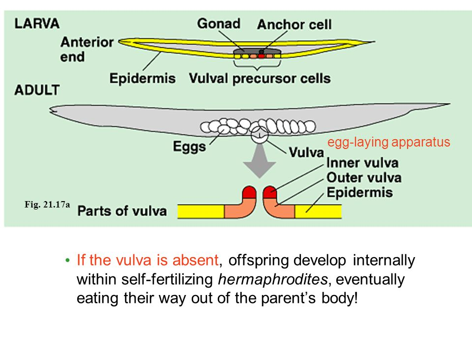 Fig. 21.17a egg-laying apparatus If the vulva is absent, offspring develop internally within self-fertilizing hermaphrodites, eventually eating their