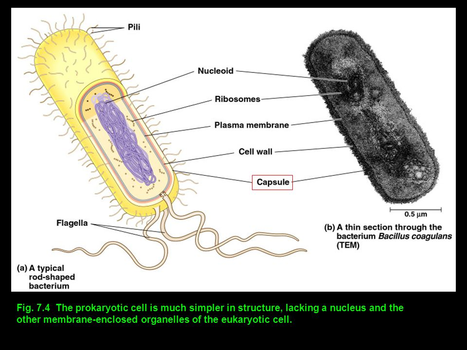 Fig. 7.4 The prokaryotic cell is much simpler in structure, lacking a nucleus and the other membrane-enclosed organelles of the eukaryotic cell.