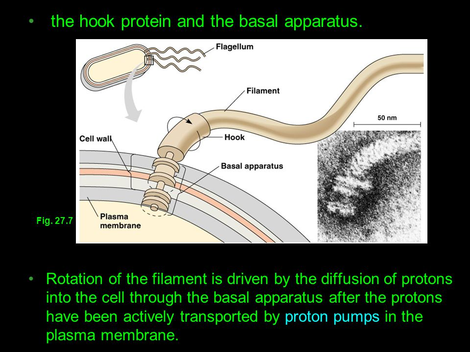 the hook protein and the basal apparatus. Rotation of the filament is driven by the diffusion of protons into the cell through the basal apparatus aft