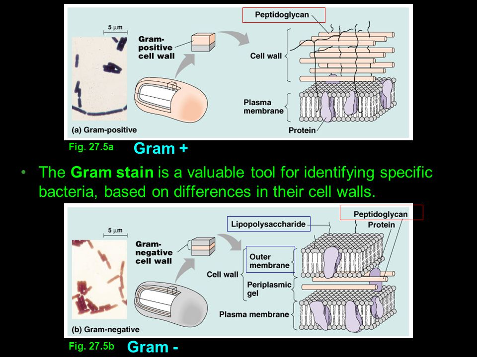 Fig. 27.5b Fig. 27.5a Gram + Gram - The Gram stain is a valuable tool for identifying specific bacteria, based on differences in their cell walls.