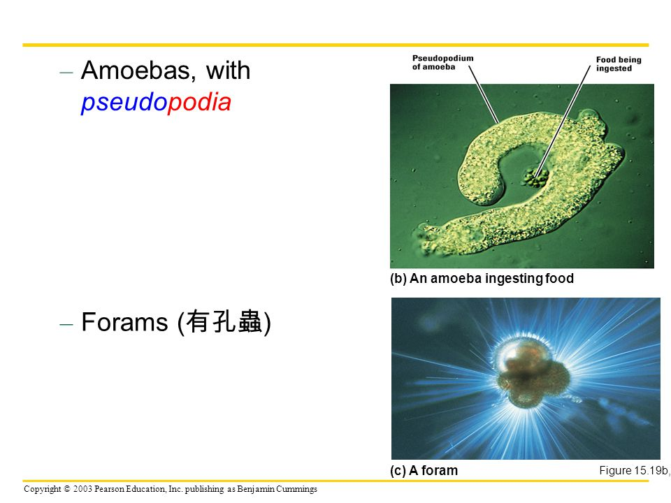 Copyright © 2003 Pearson Education, Inc. publishing as Benjamin Cummings – Amoebas, with pseudopodia Figure 15.19b, c – Forams ( 有孔蟲 ) (b) An amoeba i