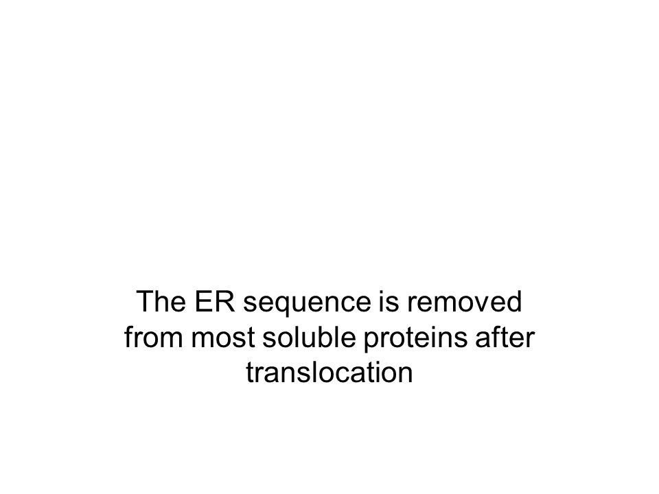 The ER sequence is removed from most soluble proteins after translocation