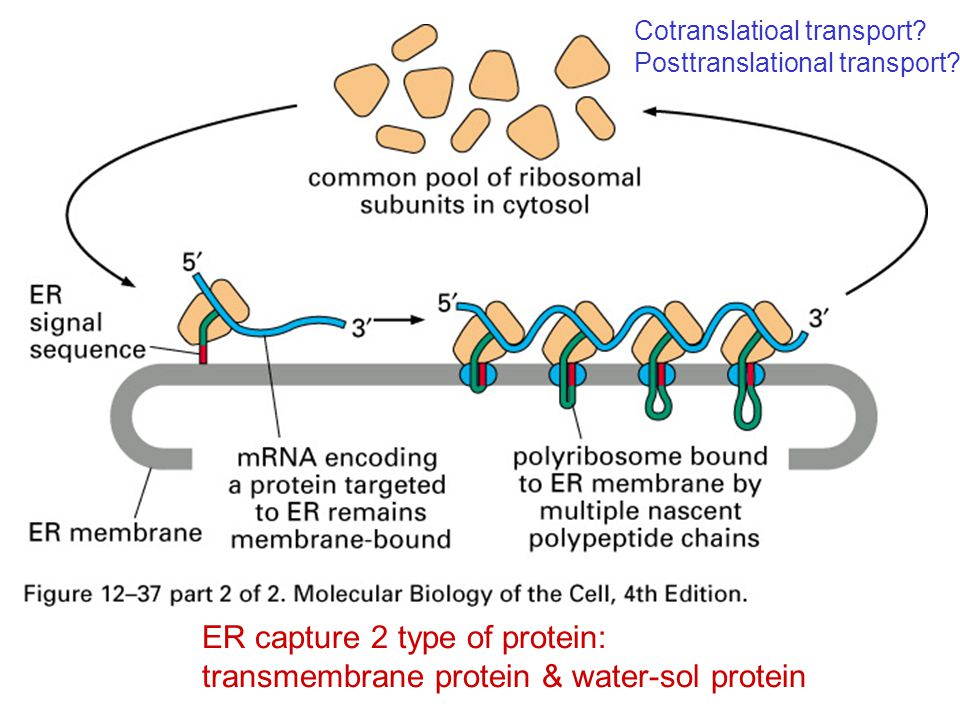 ER capture 2 type of protein: transmembrane protein & water-sol protein Cotranslatioal transport? Posttranslational transport?