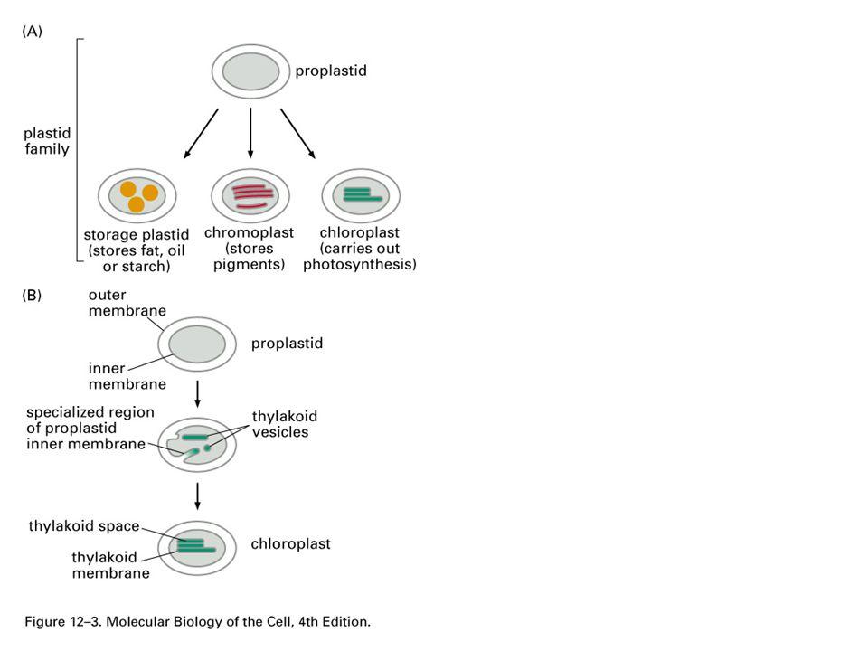 Catalase: 2H2O2  2H2O + O2 Urate oxidase: RH2 + O2  R + H2O2 Animal:  -oxidation occur at both mitochondria & perixosome.