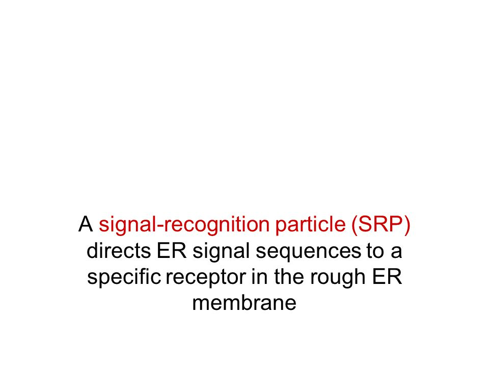 A signal-recognition particle (SRP) directs ER signal sequences to a specific receptor in the rough ER membrane